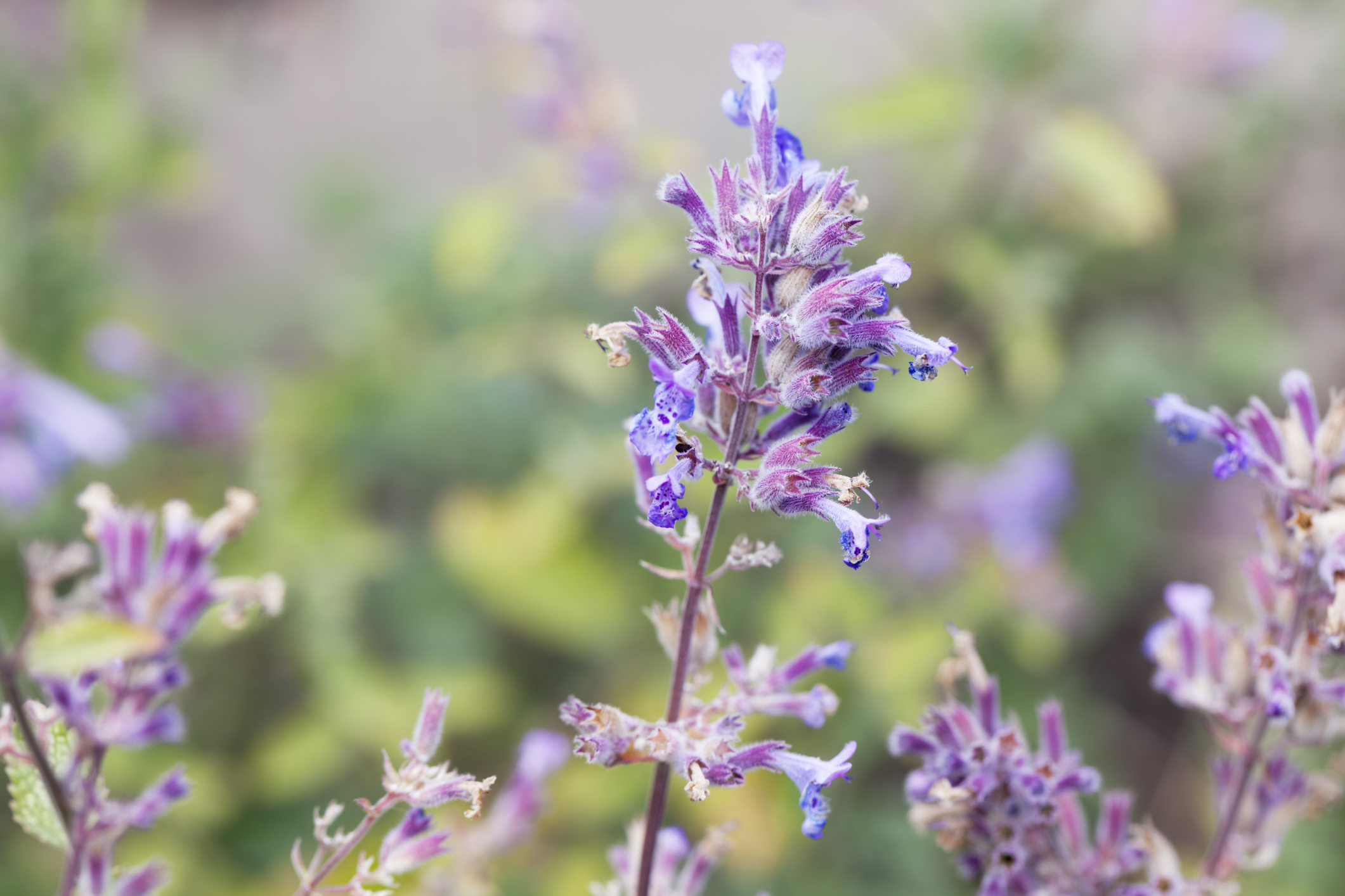 Nepeta cataria, catnip plant close up, used in herbal medicine, attracting cats as well