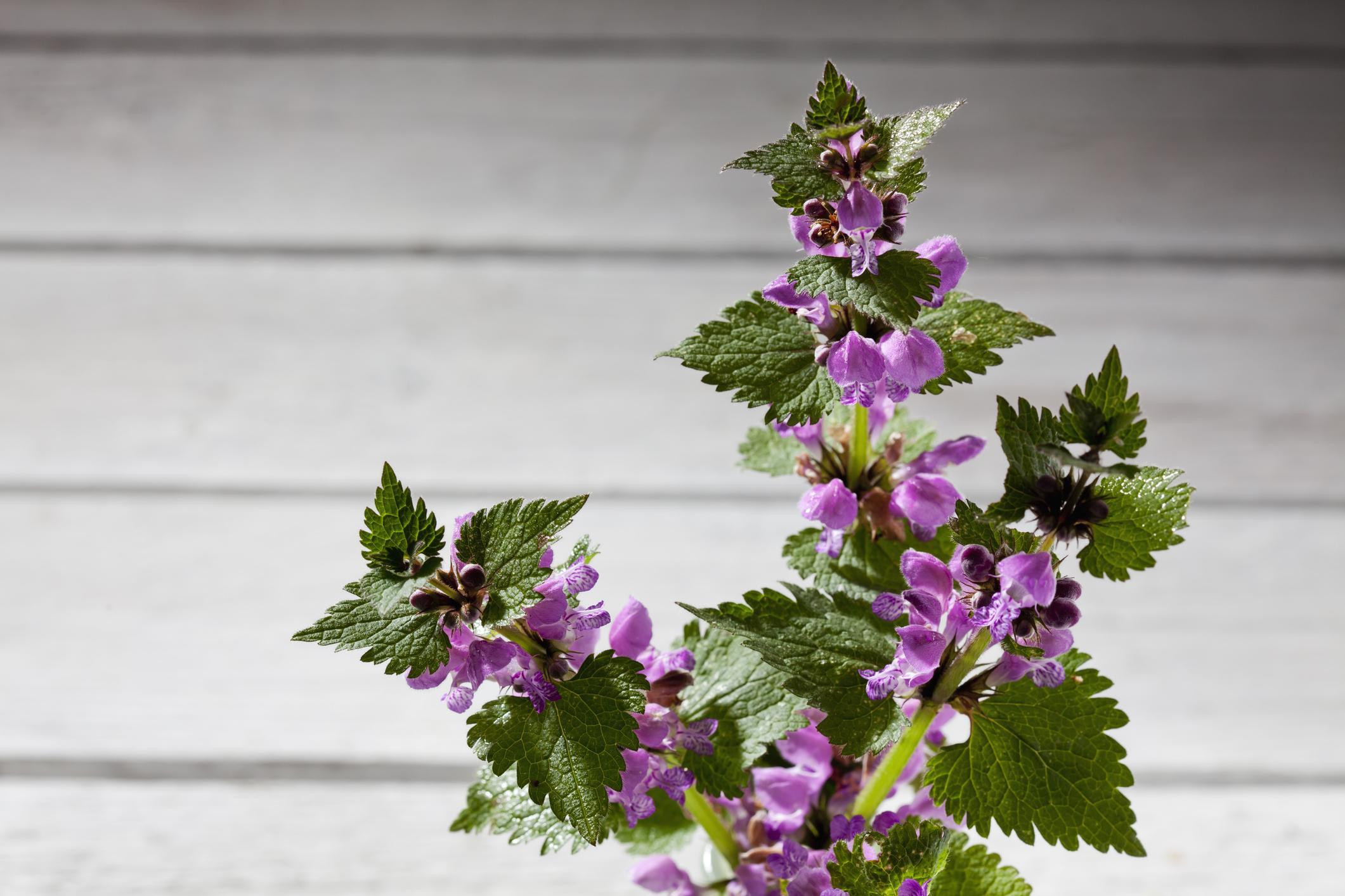 Purple deadnettle on wood,