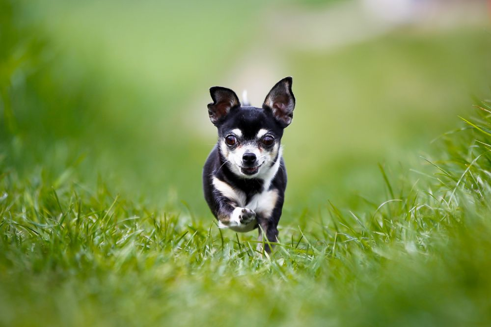 White and black chihuahua running through grass towards the camera.