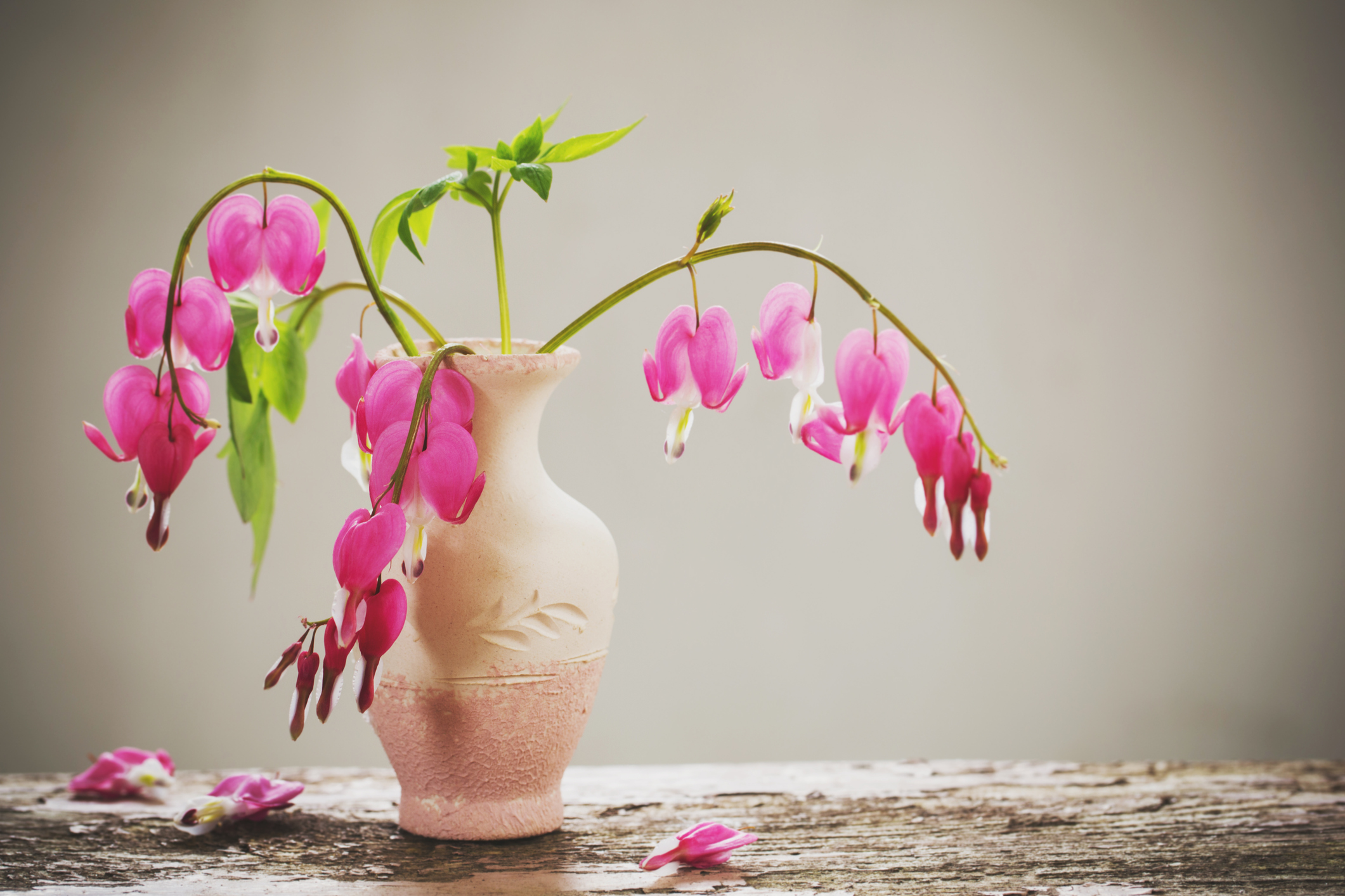 Bleeding heart flowers in vase