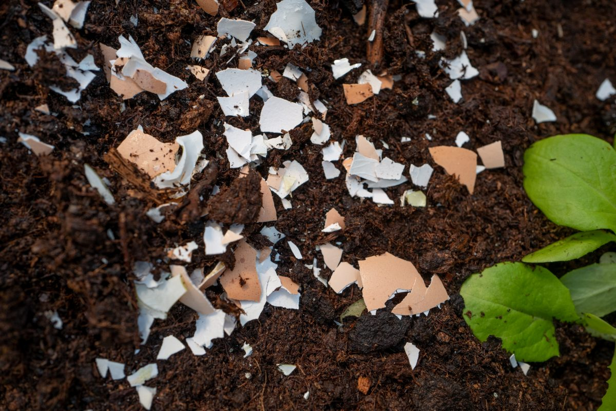 calcium soil garden eggshells