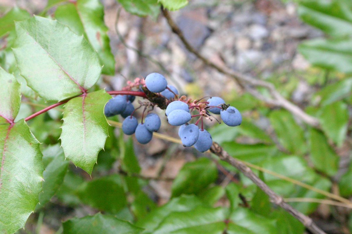 oregon grape berries plant