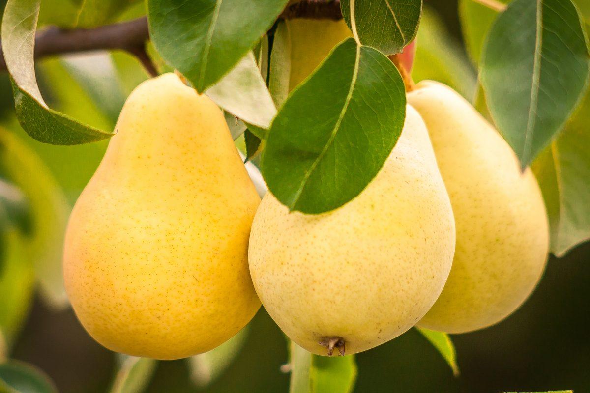 fruit pests cover ziplock pears