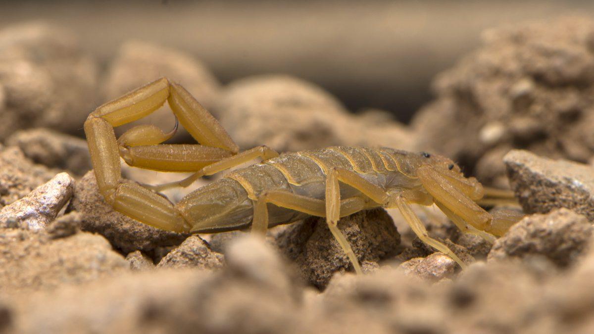 Arizona Centruroides sculpturatus