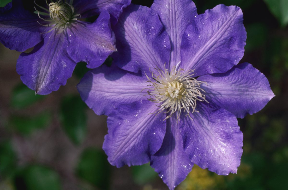 climbers vine blooms clematis