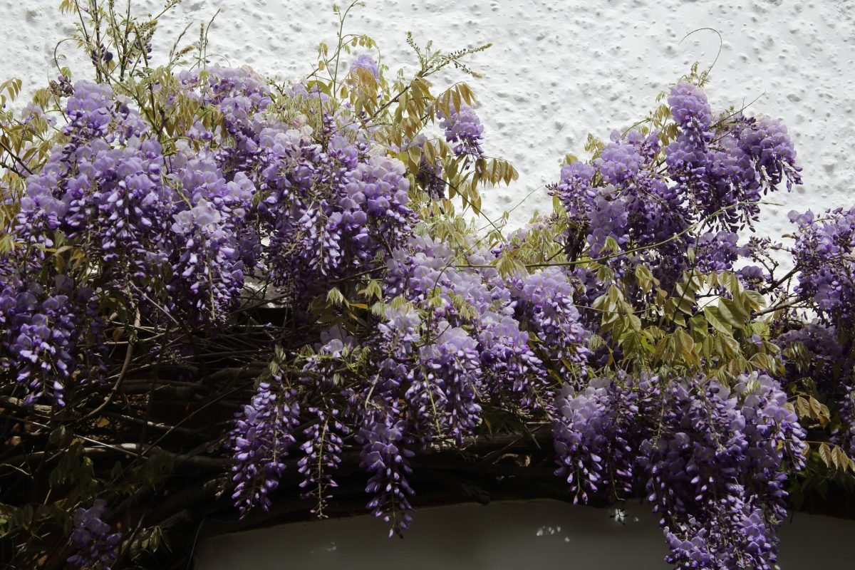 vines foliage clusters wisteria