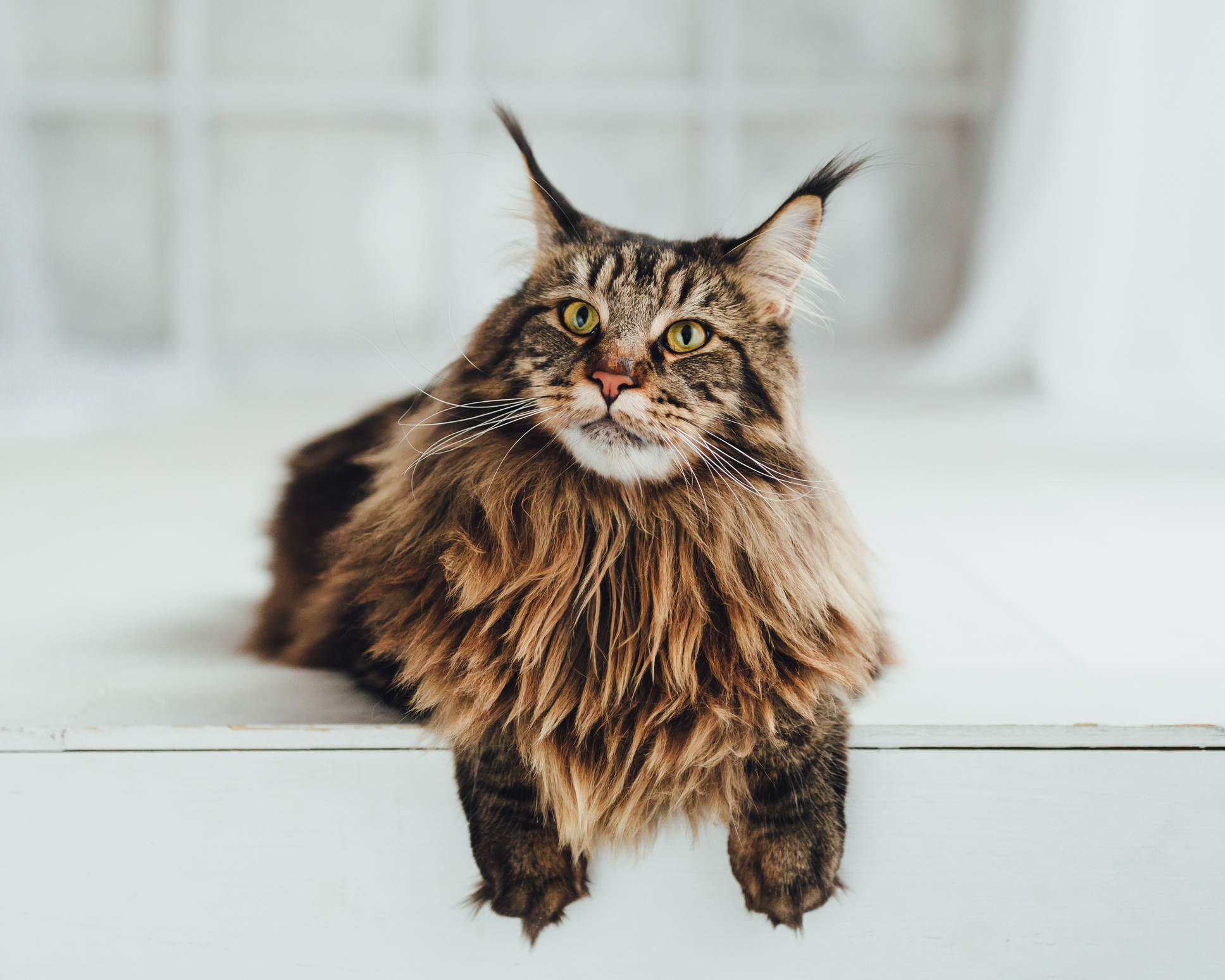 Maine Coon cat on white background, close-up view