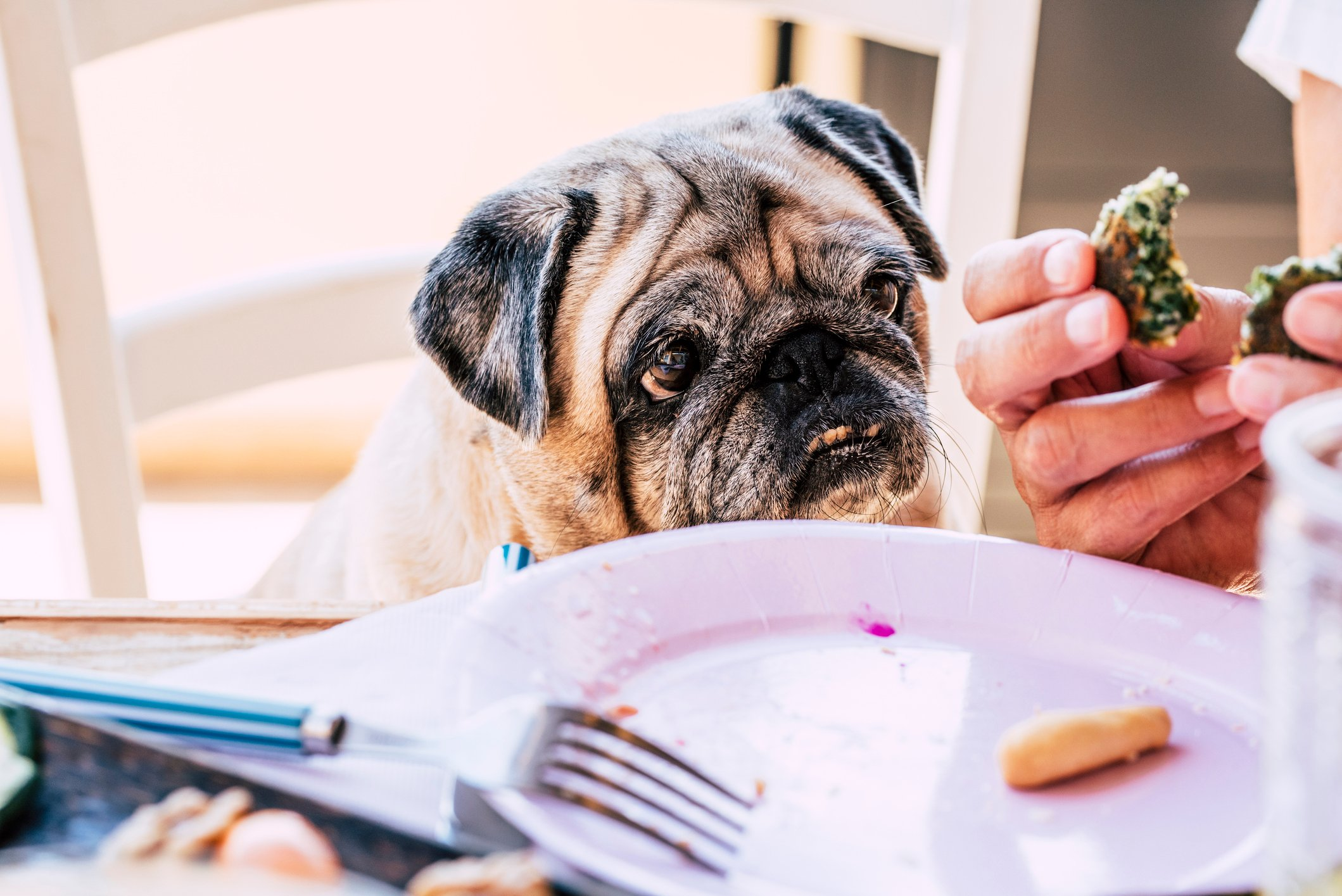 Old and fun pug dog portrait looking at some food while human owner eat it - concept of adorable domestic life animal at the table