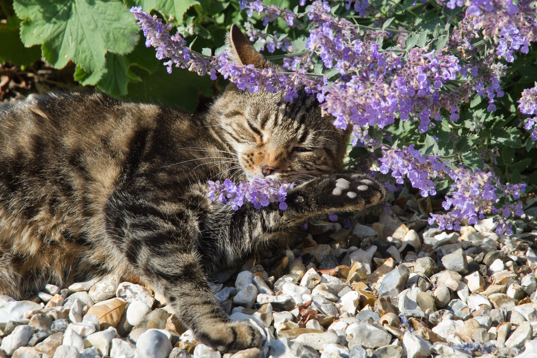 Happy Cat lying under Catmint (Nepeta) and smelling flowers which typically results in euphoria.