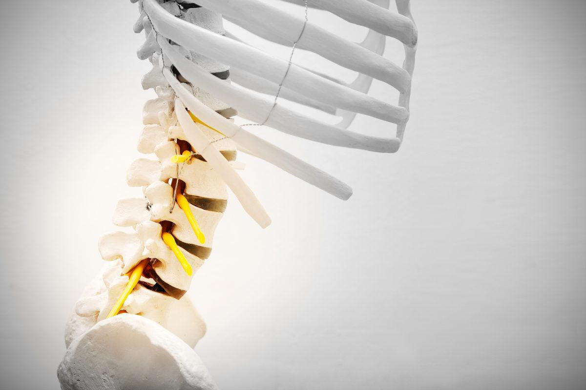 lumbar vertebrae model