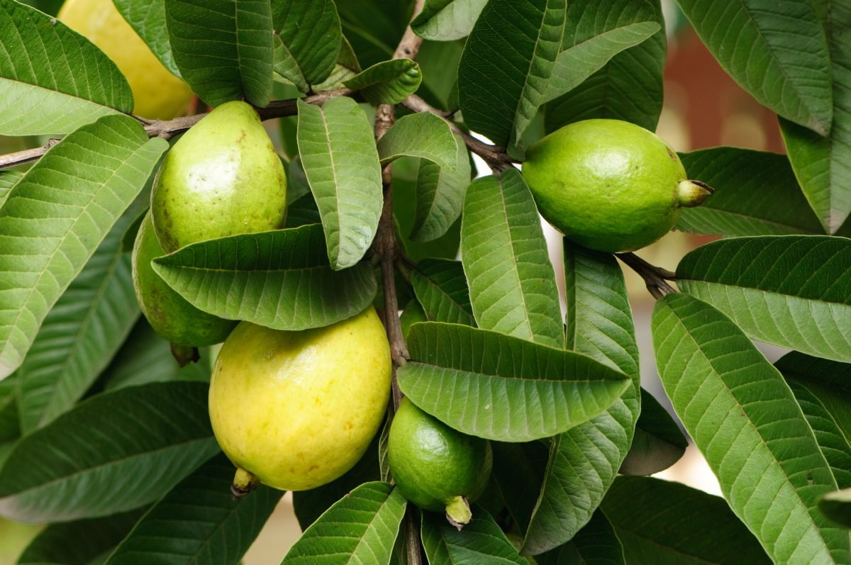 guava leaves for gum disease