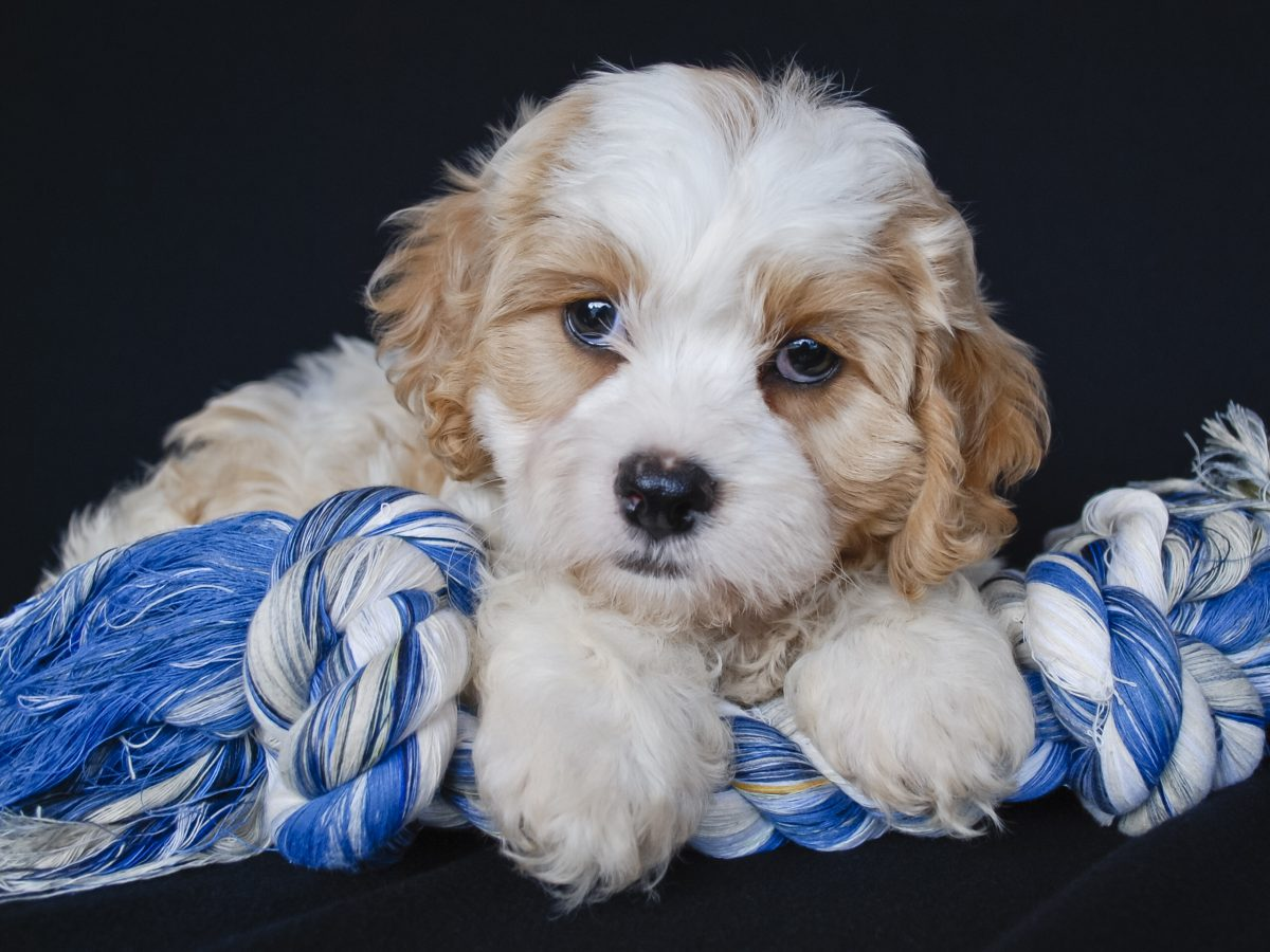 Cavachon mixed dog breed