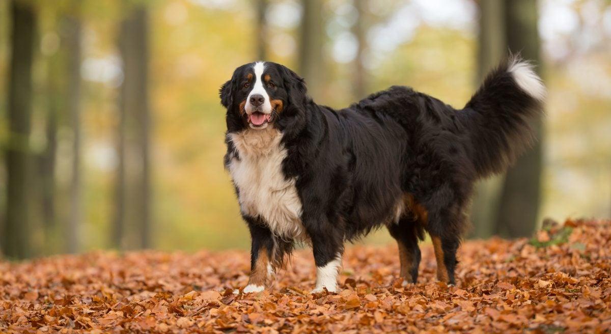 endurance alaska bernese mountain dog