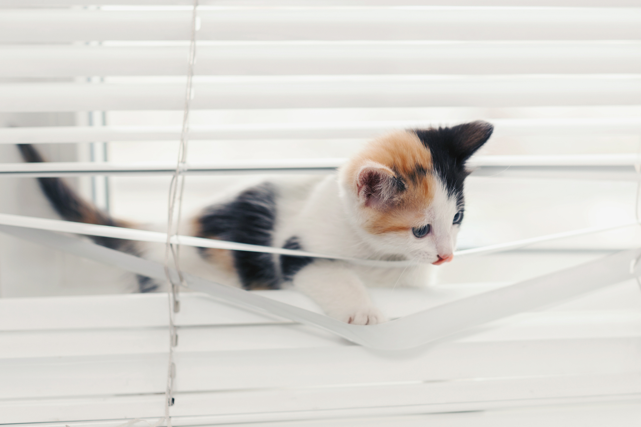 Funny tricolor kitten tangled in white blinds playing on the window