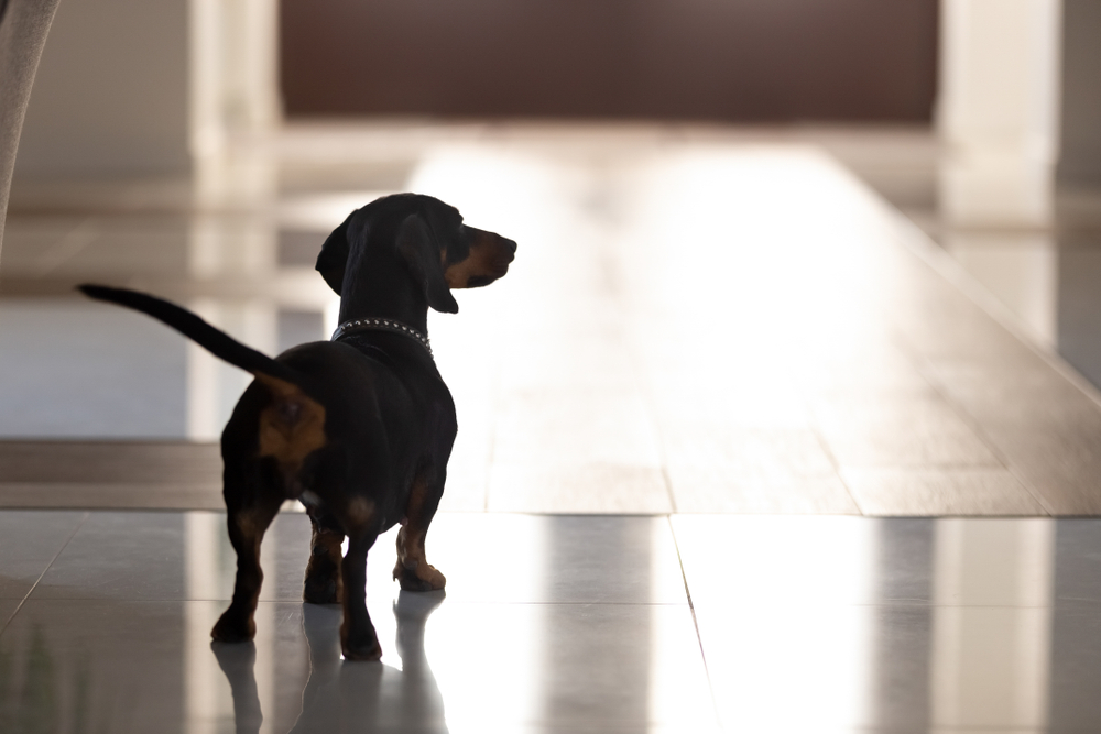 black dachshund with collar standing in hall of modern house alone