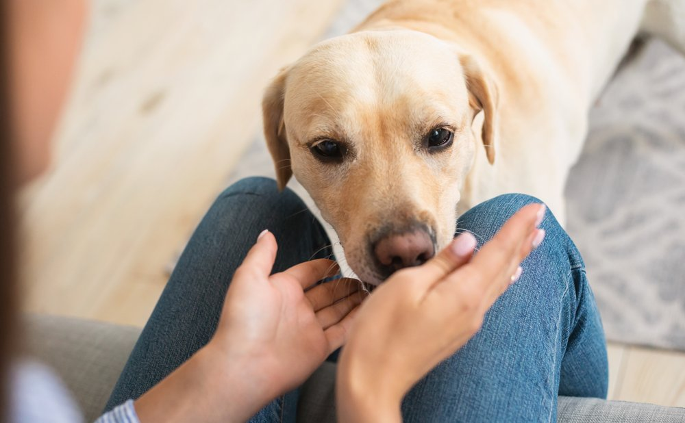 labrador retriever sniffing woman's hands in living room