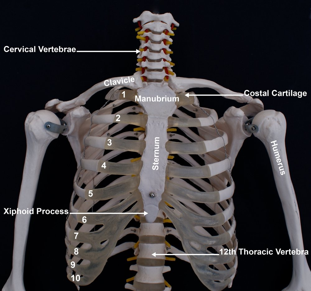 XiphoidProcess of the sternum