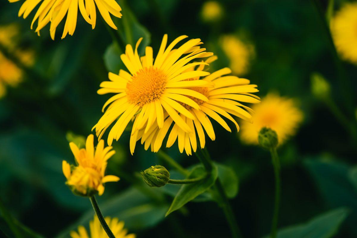 Arnica flowers in bloom