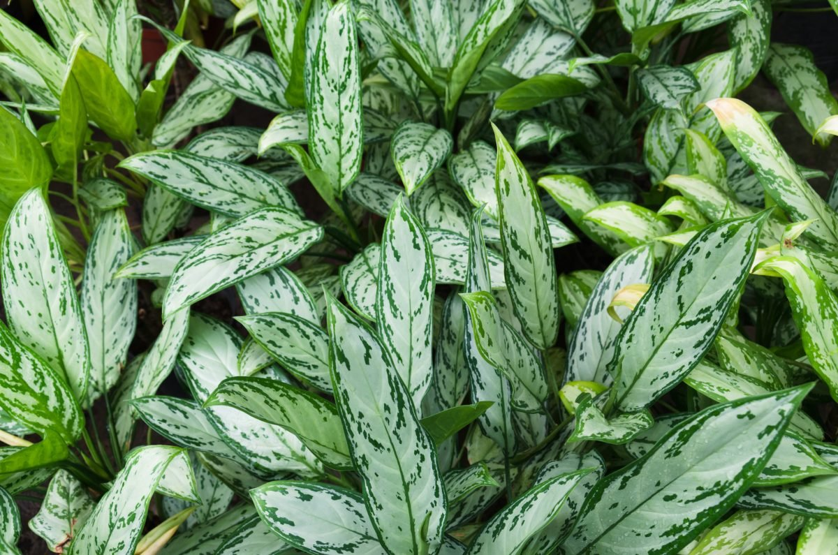 The Chinese evergreen is a good first choice for those new to houseplants.