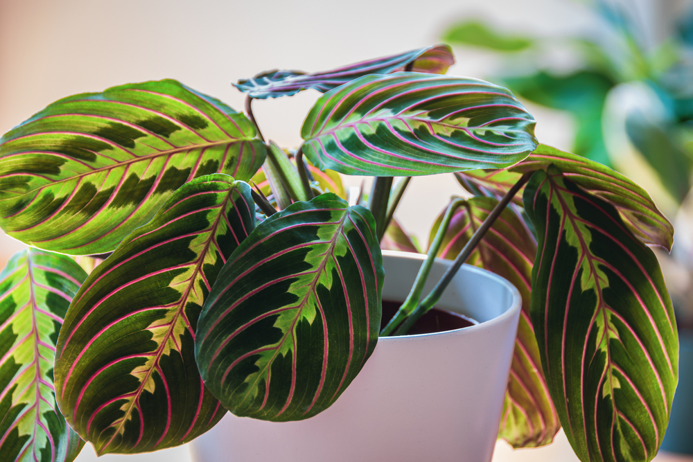prayer plant air purifying plants