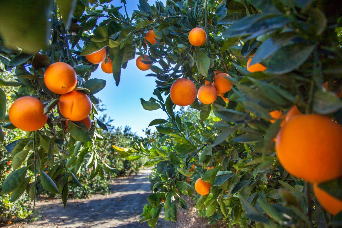 nutrient profile, citrus varieties, products,