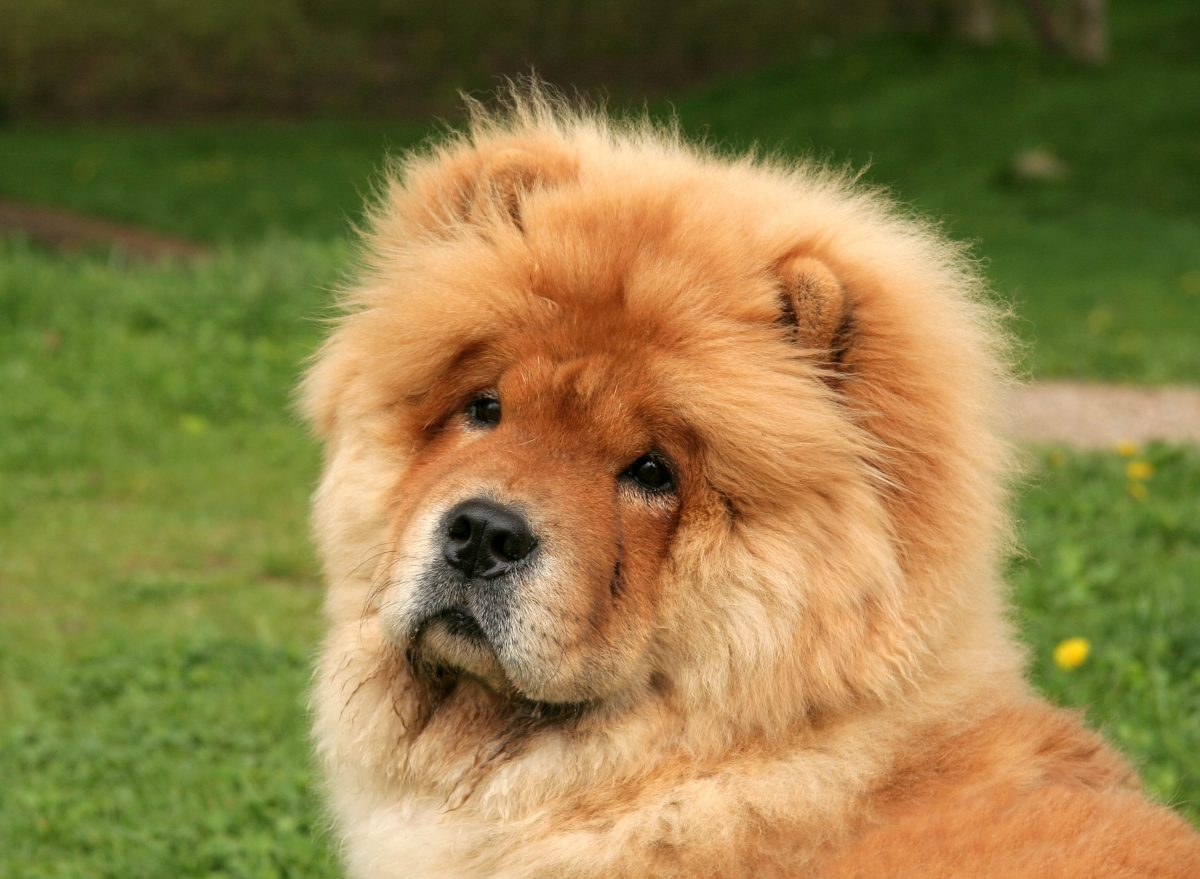 Chow Chow Cute Strong-Willed Obedience