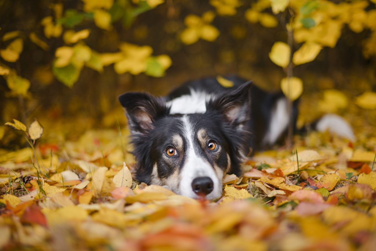 Cheap border collie laying in leaves