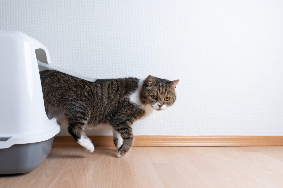 Toxoplasma Gondii Cat Feces