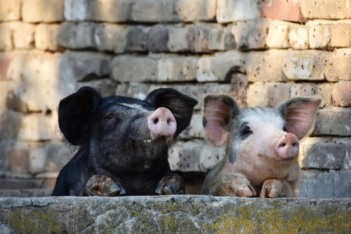 Two curious pigs