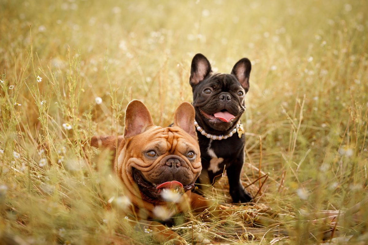 bat ear standard french bulldog
