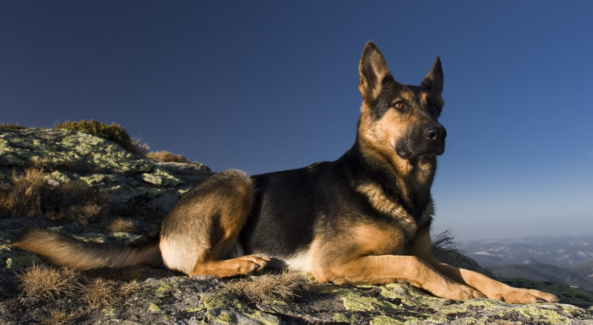 working dog german shepherd