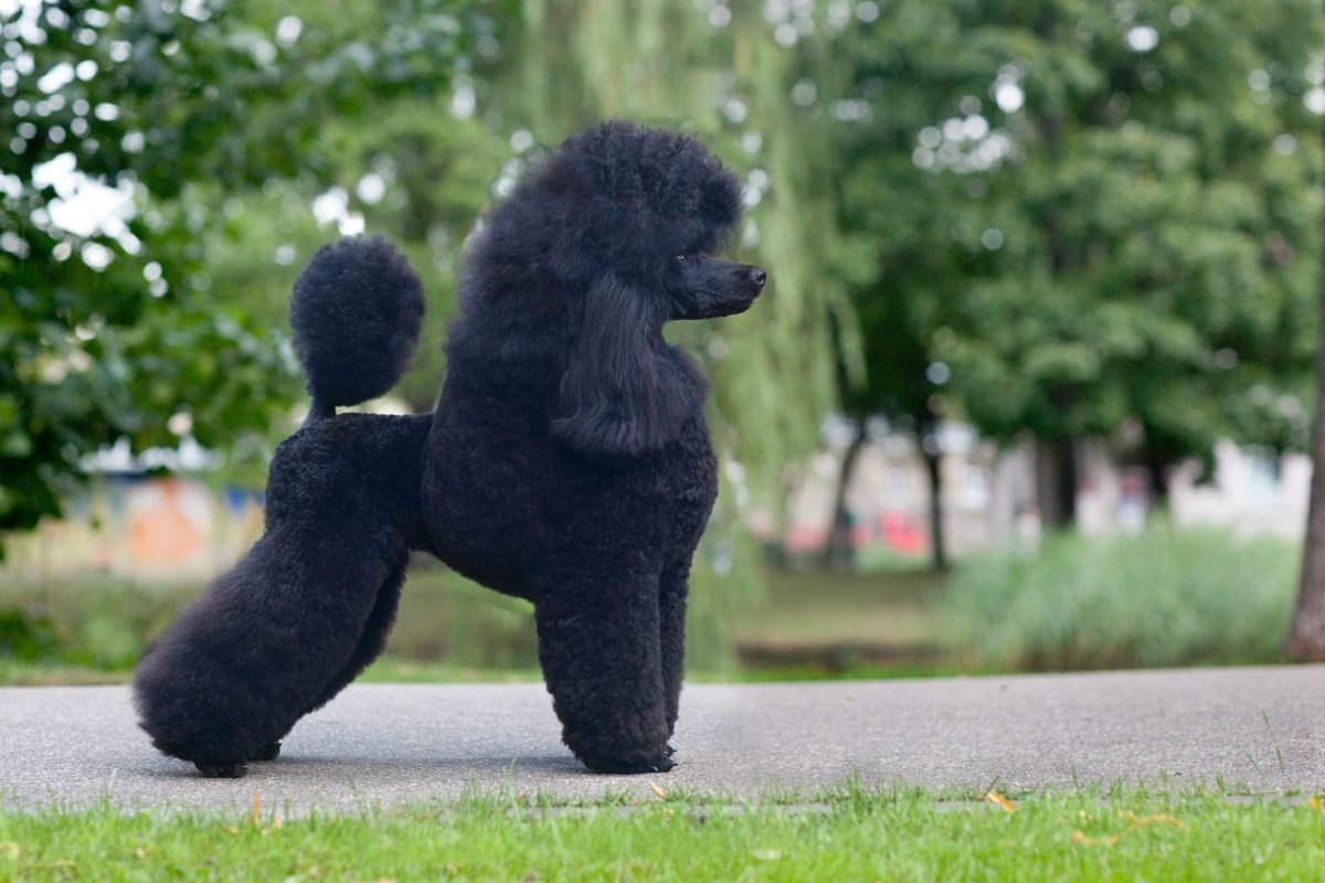 german breeders grooming poodle