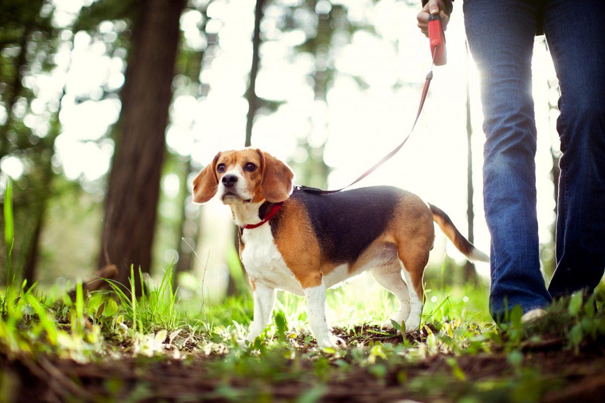Cheap beagle on walk