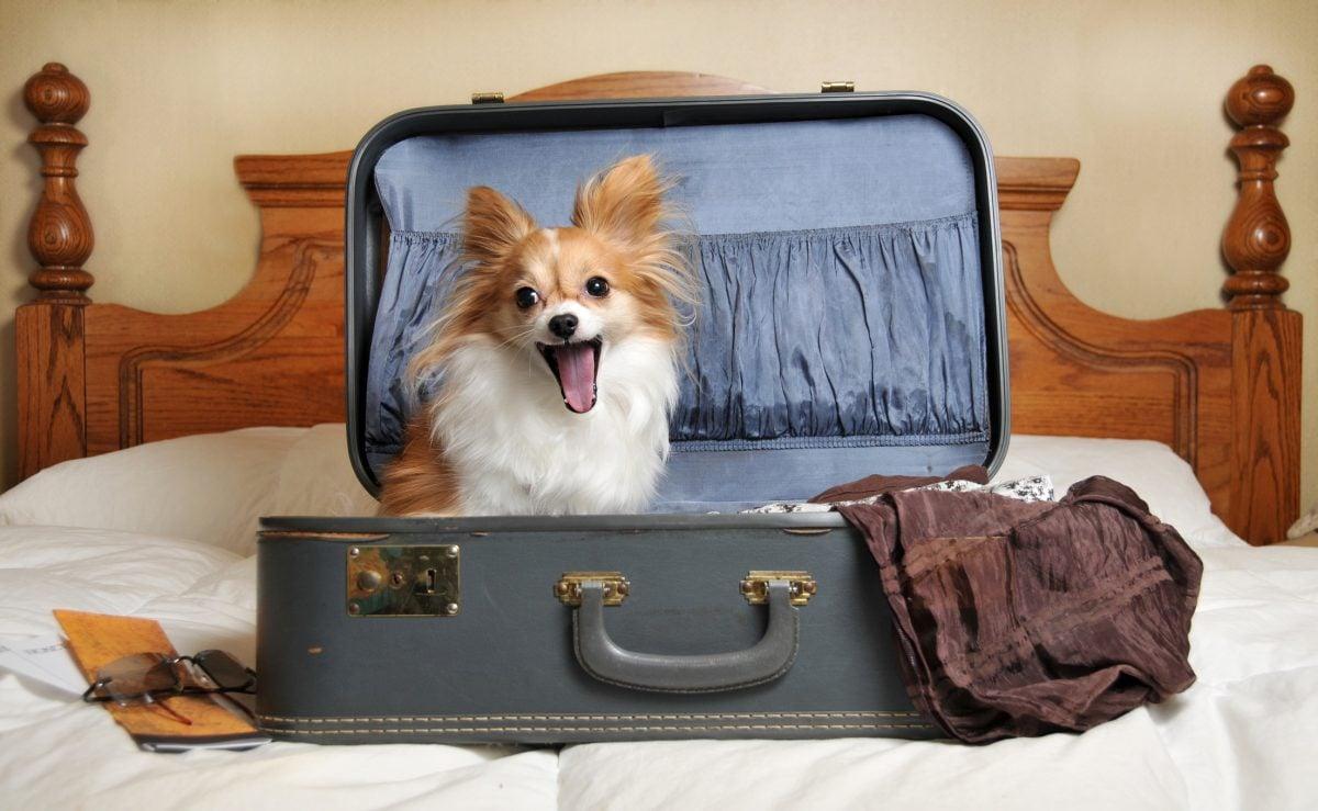 Cheap papillon in a suitcase