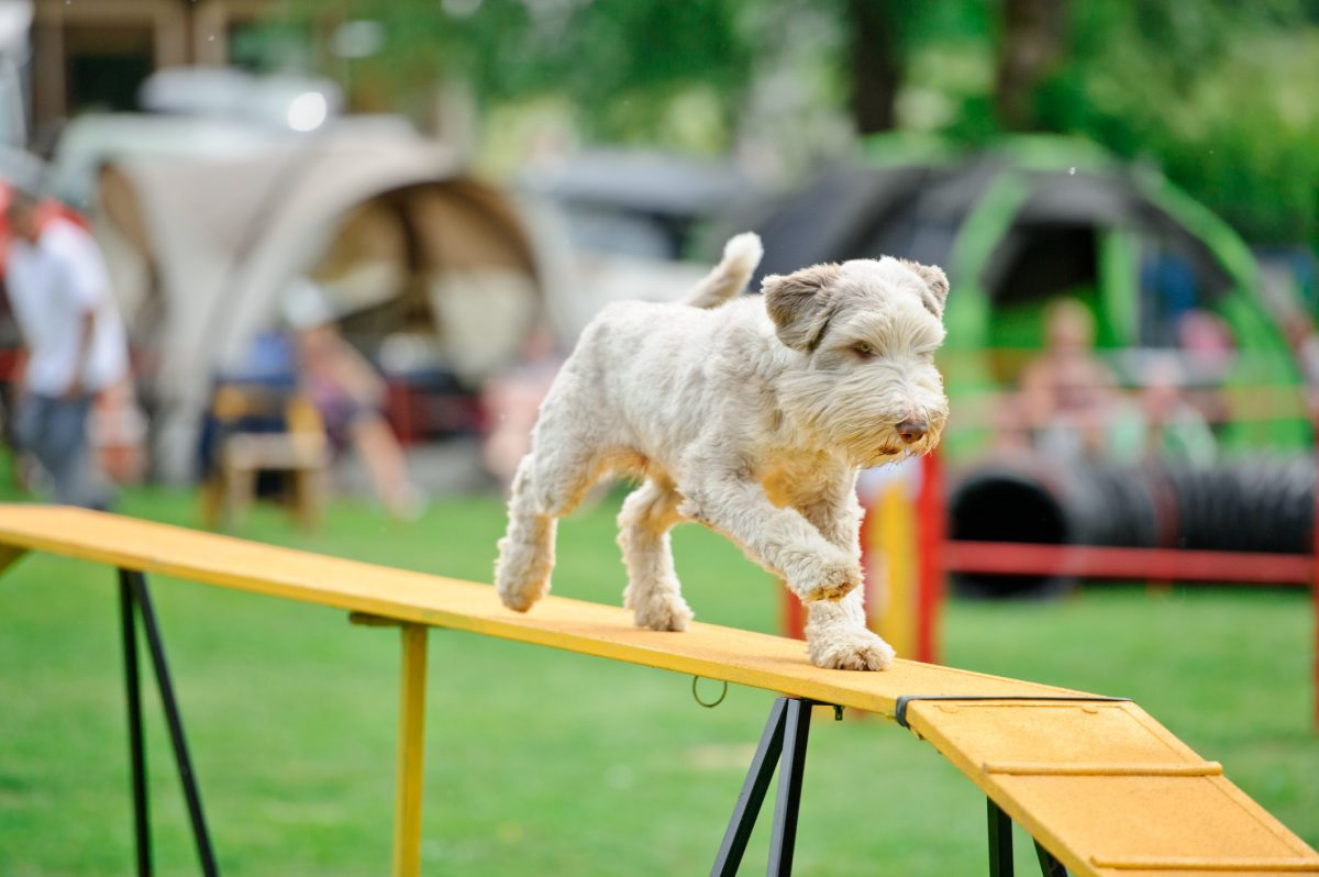 Dog on an agility hurdle