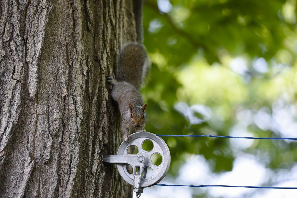 Smart squirrel on a clothesline