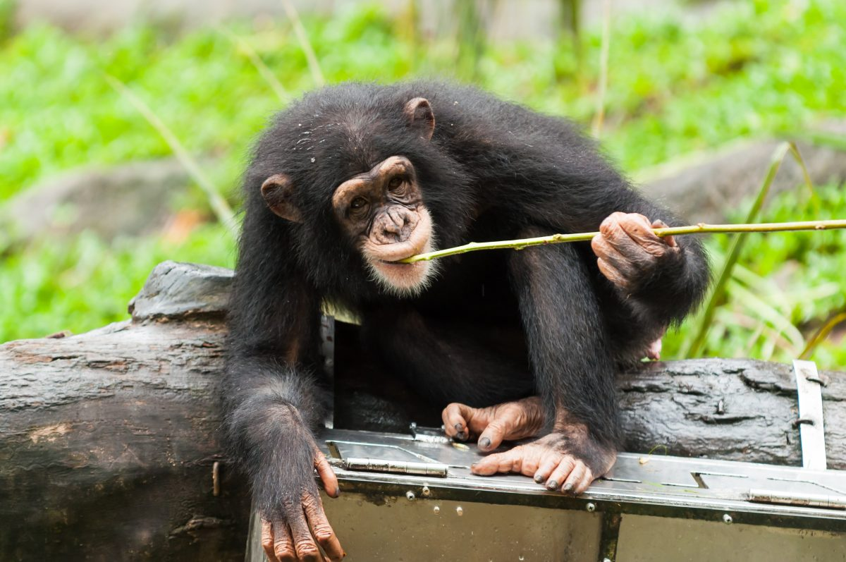 Chimpanzee using a stick to find food