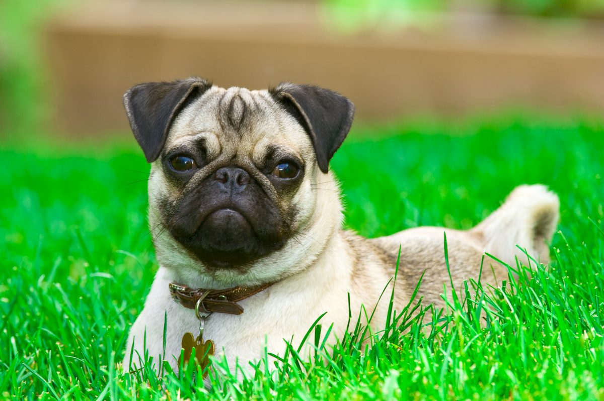 Cheap pug laying in grass