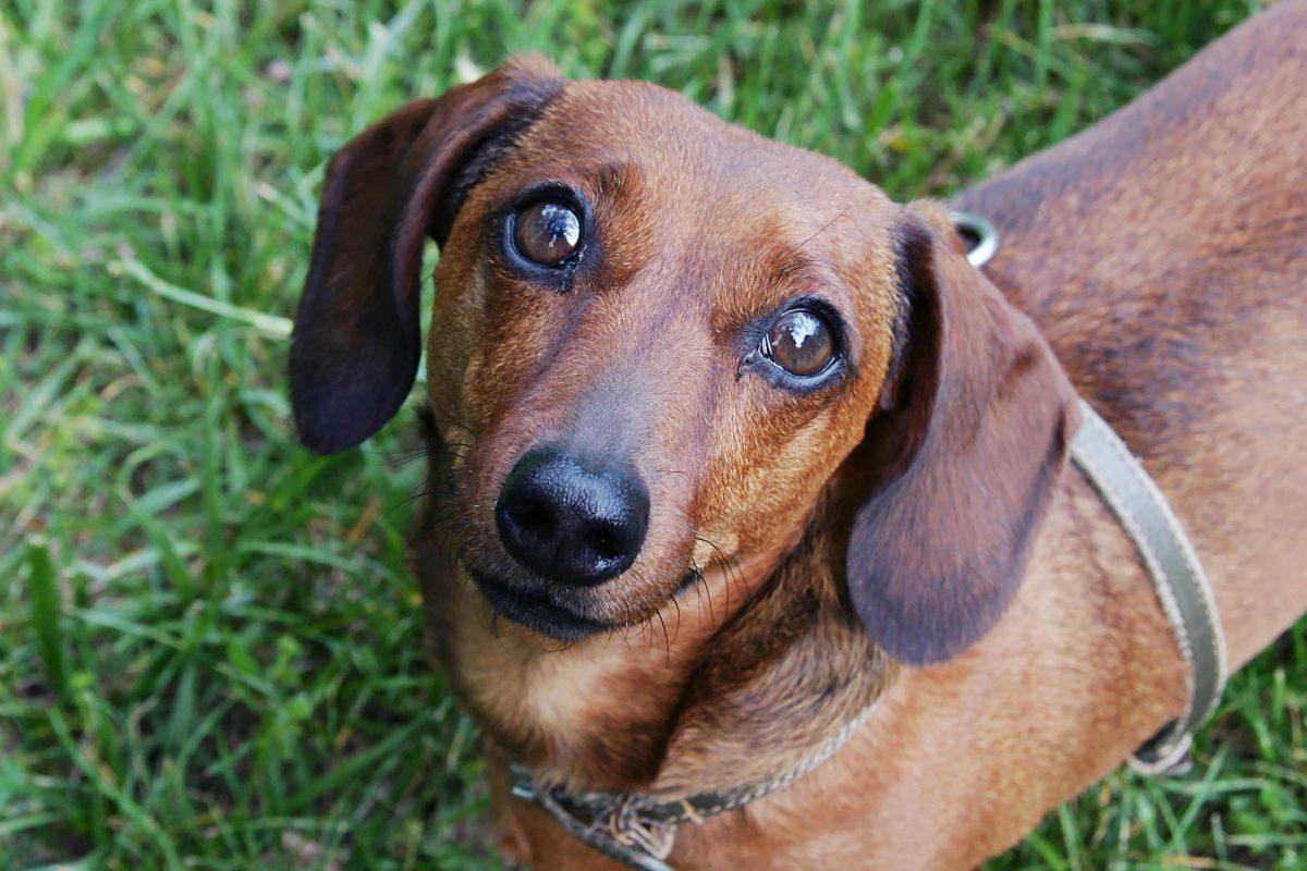 Cheap dachshund looking up