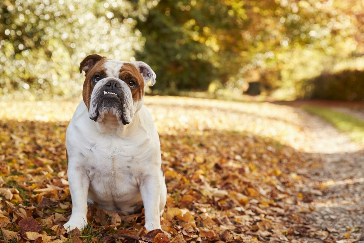 Bulldog in fall leaves