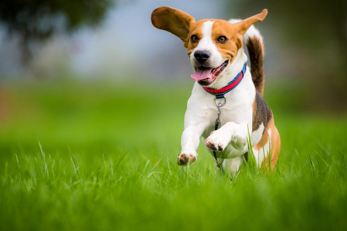 Prancing beagle