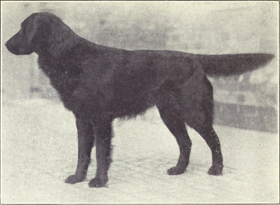 Flat Coated Retreiver