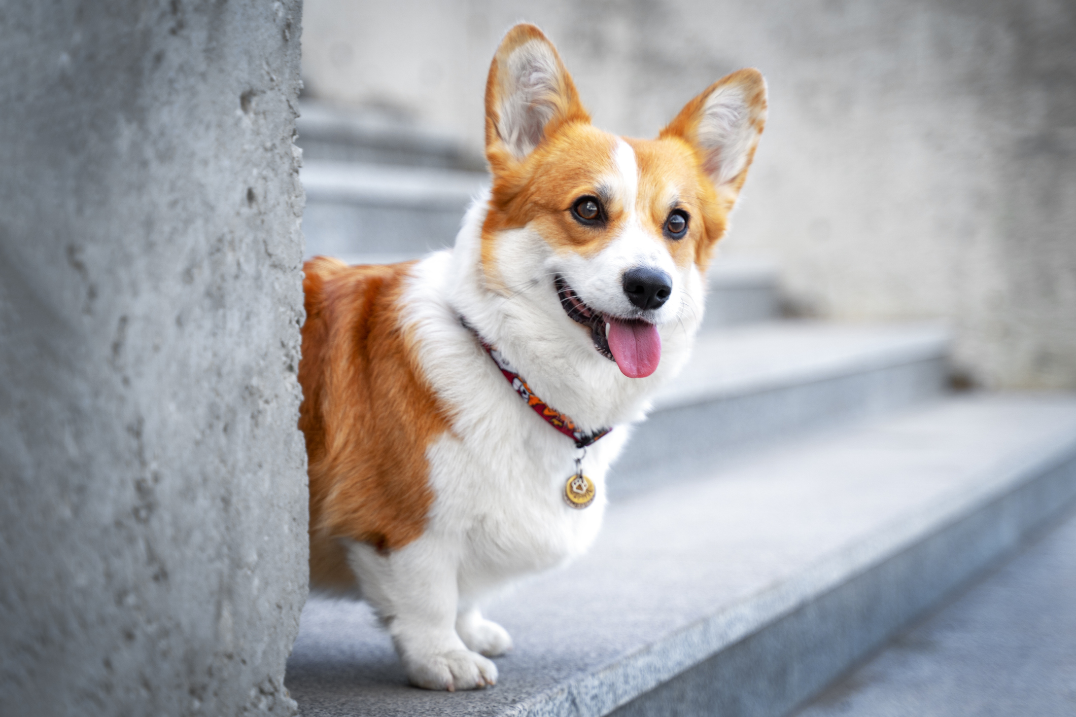 Cute Welsh Corgi dog sitting on the steps in the town. a dog in the city. Dog in urban landscape