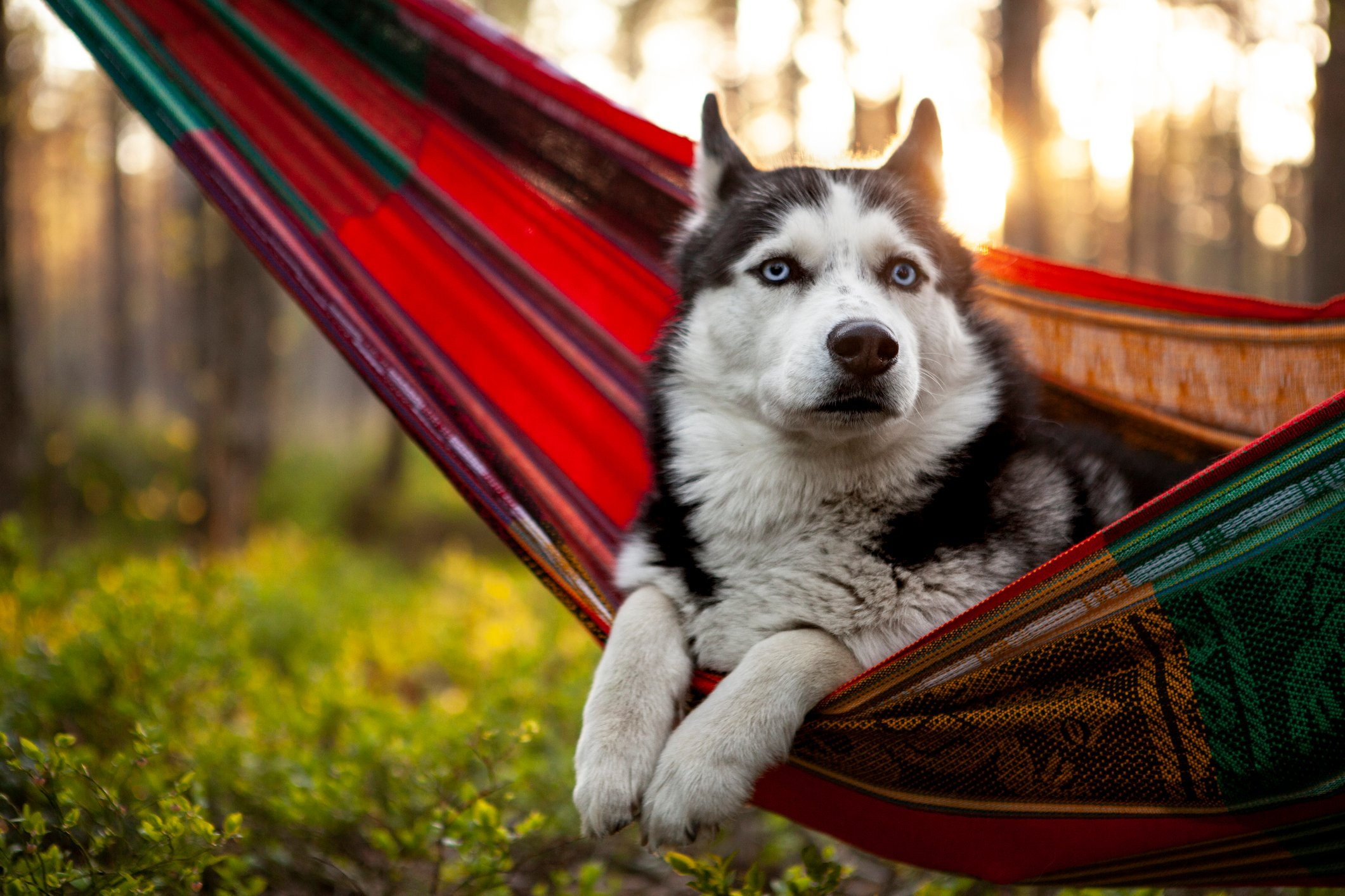 lazy Siberian husky dog lying in a hammock