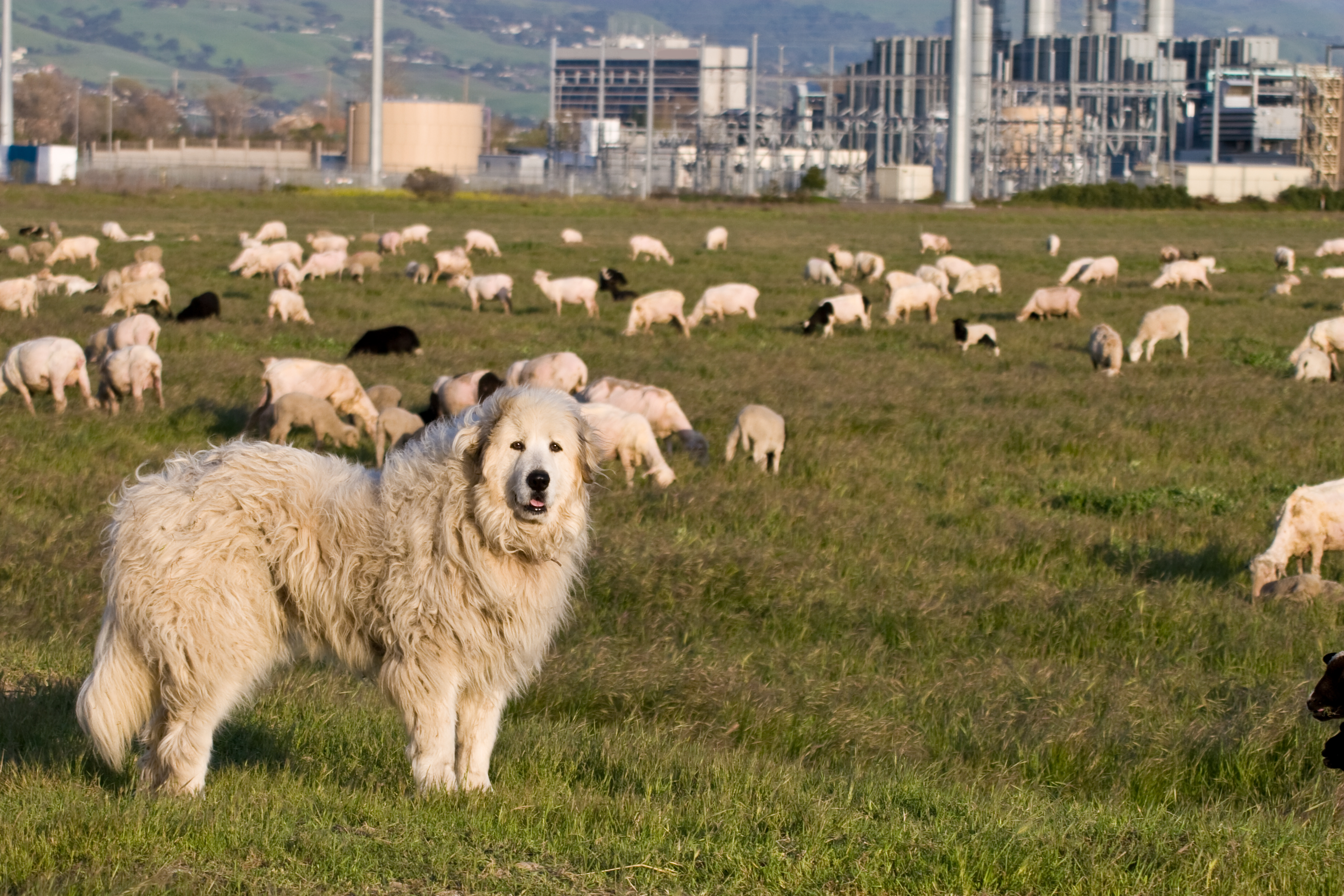 A Great Pyrenees watches over his flock in the middle of the big city. The property uses sheep and goats to clear ground instead of herbicides.