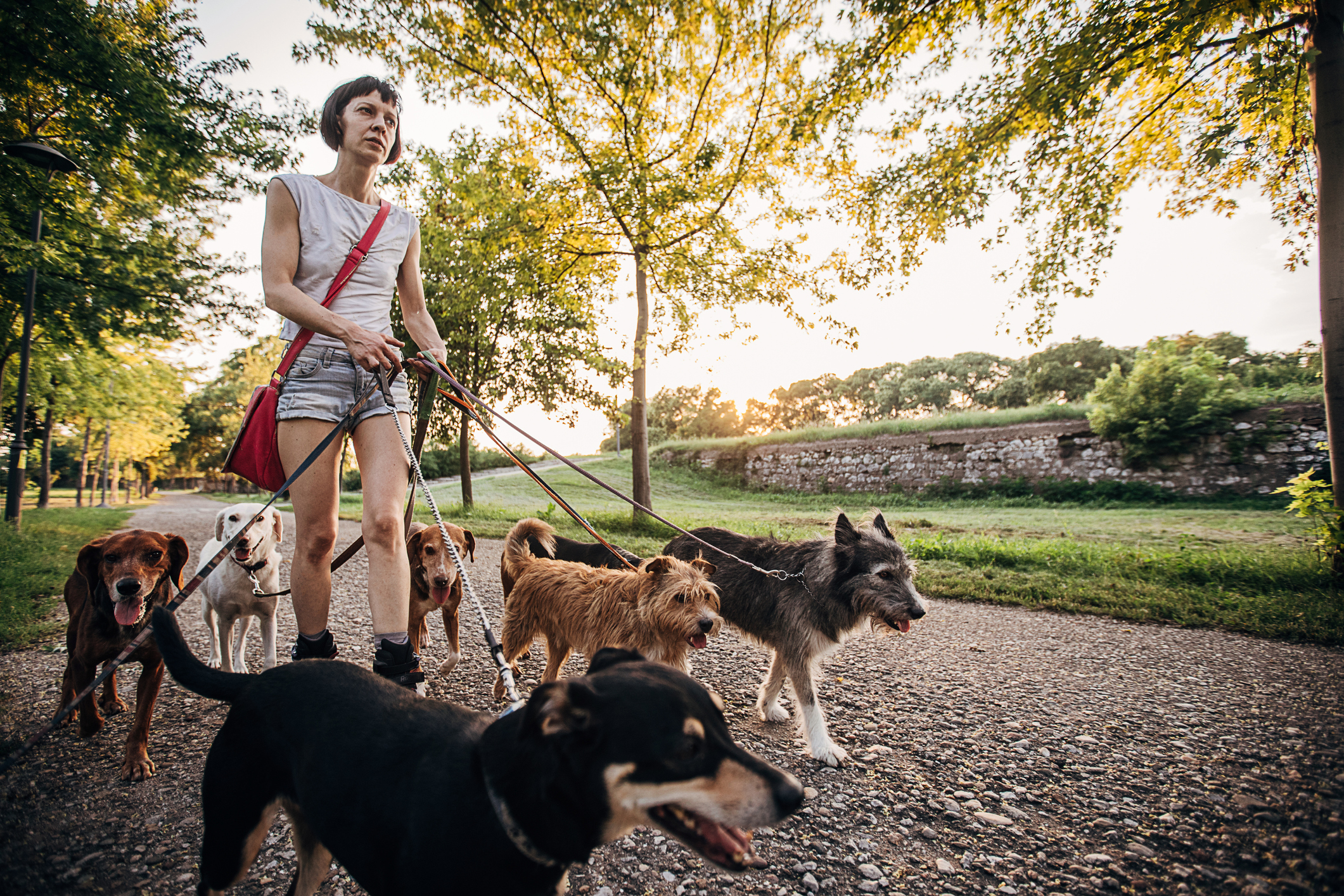 One woman, professional dog walker on roller blades, exercising dogs in park.