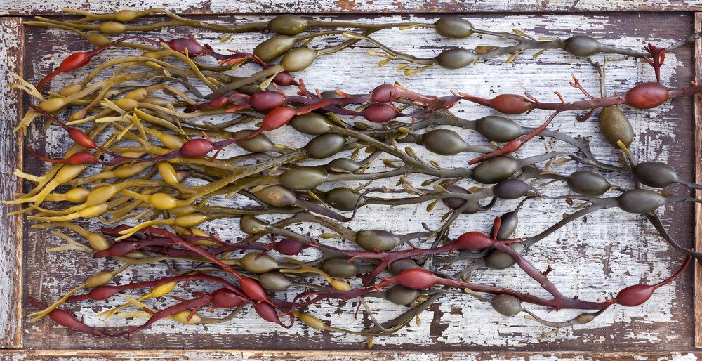 bladderwrack seaweed dosage recommendation