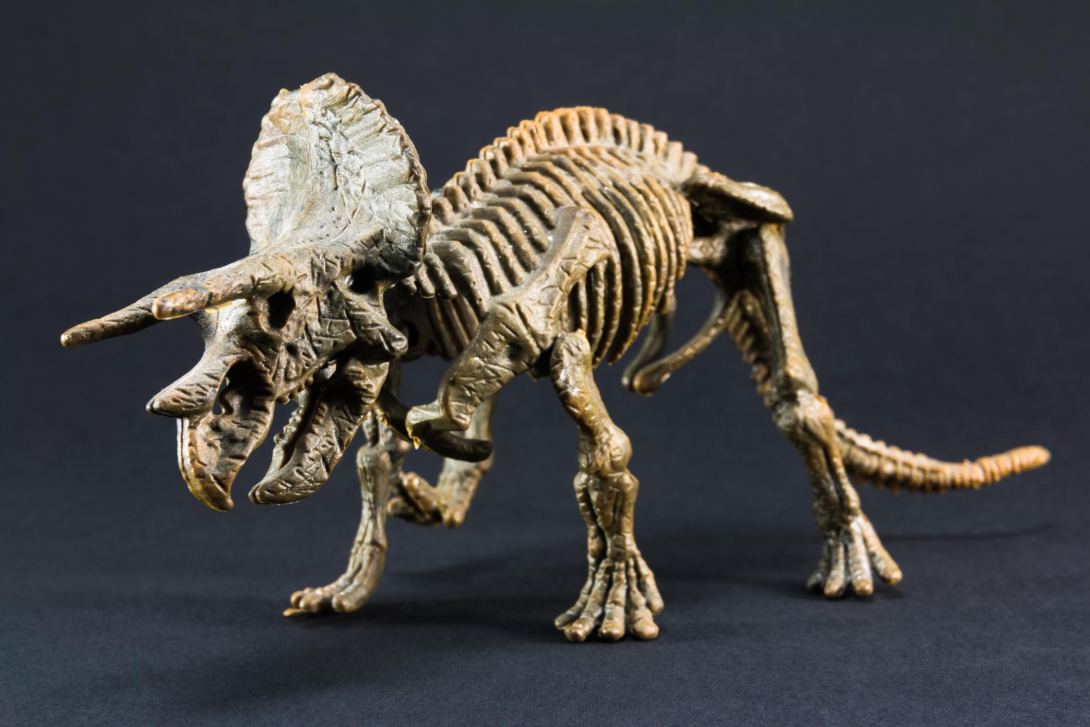Triceratops fossil dinosaur skeleton model toy on black background