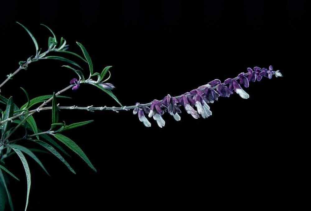blooming salvia plant on black background