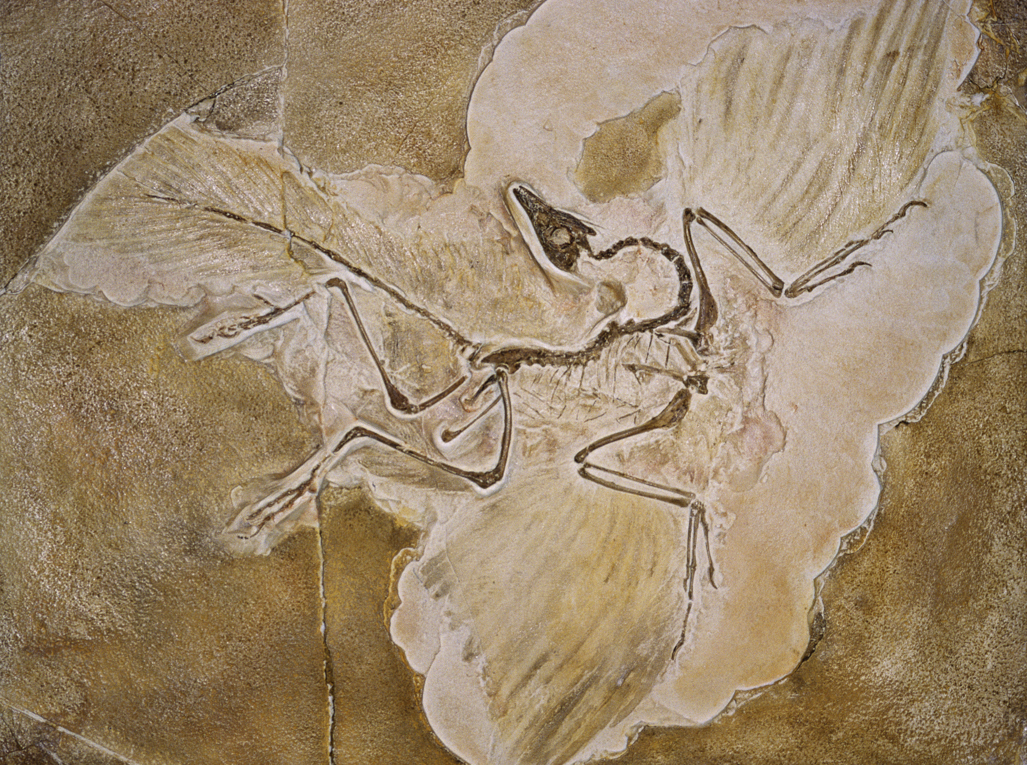 Archaeopteryx Lithographica Fossil
